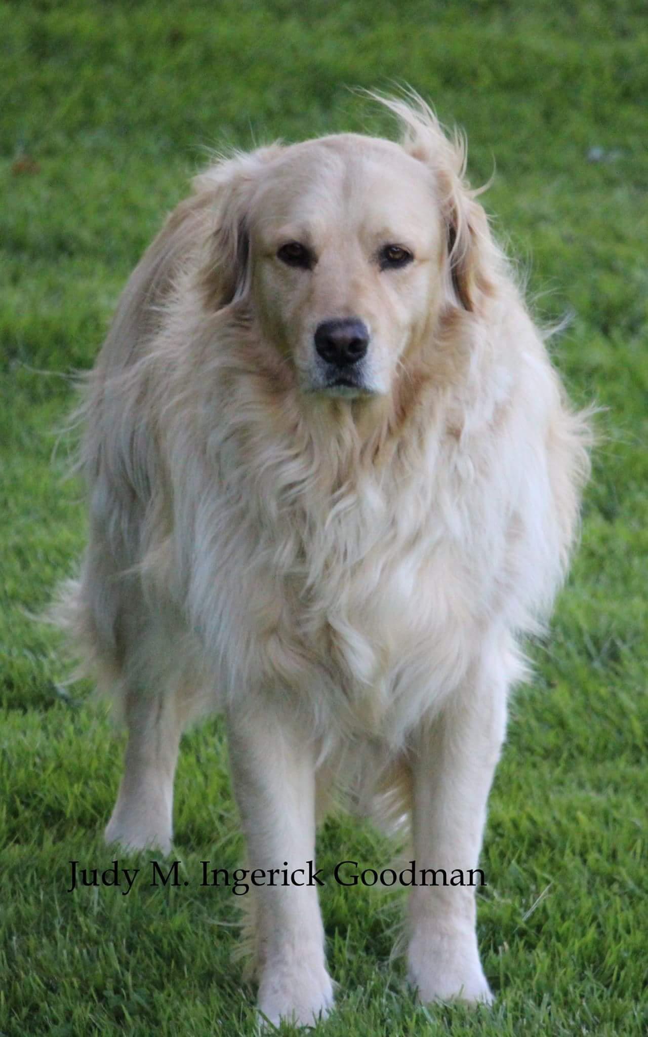 Angus, Golden Retriever in Ontario County (photo)
